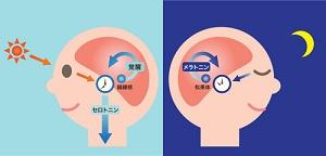 脳内分泌のイラスト