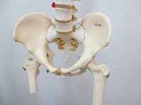 骨盤モデル写真